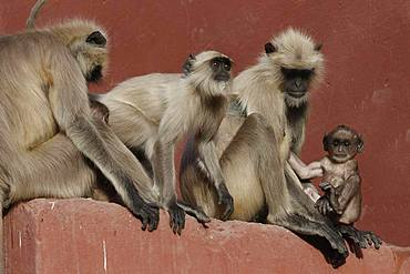 Northern plains gray langurs (Semnopithecus entellus), animal group sitting on a wall, Ranthambhore National Park, Rajasthan, India, Asia