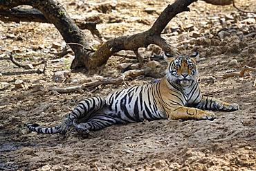Bengal tiger (Panthera tigris tigris), female resting on ground, Ranthambhore National Park, Rajasthan, India, Asia