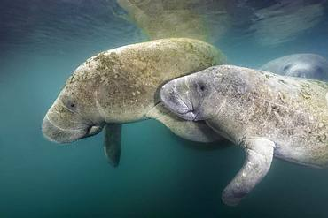 West Indian manatees (Trichechus manatus), pair, Three Sisters Springs, Manatee Conservation Area, Crystal River, Florida, USA, North America