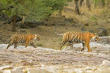 Tiger (Panthera tigris tigris), Muttertier with her cub, Ranthambore National Park, Rajasthan, India, Asia