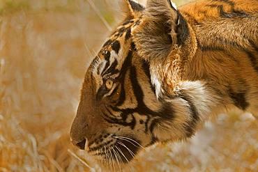 Portriat of an alert tiger (Panthera tigris tigris), Ranthambore National Park, Rajasthan, India, Asia