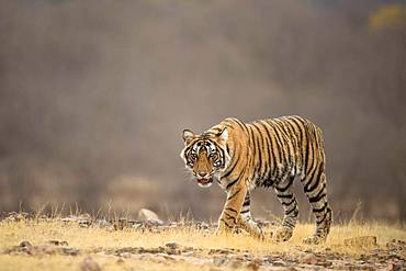 Tiger (Panthera tigris tigris) walking on the short dry grassland, Ranthambore National Park, Rajasthan, Inida