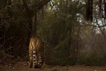 Tiger (Panthera tigris tigris) walking away on a forest track in the dark and dry forests, Ranthambore National Park, Rajasthan, Inida