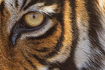 Close up of a wild tiger's eye (Panthera tigris tigris), Ranthambore National Park, Rajasthan, Inida