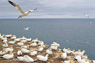 Northern gannet (Morus bassanus), breeding colony at Lummen Rock, Heligoland, North Sea, Schleswig-Holstein, Germany, Europe