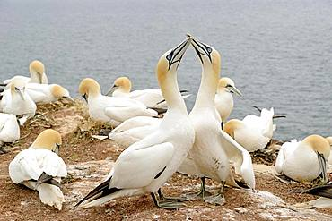 Northern gannet (Morus bassanus), mating pair in the breeding colony, Heligoland, North Sea, Schleswig-Holstein, Germany, Europe