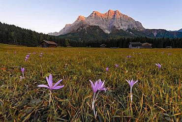 Meadow with Meadow saffron (Colchicum autumnale), sunset at the Zugspitze, Wetterstein range, Werdenfelser Land, Upper Bavaria, Bavaria, Germany, Europe