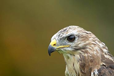 Common buzzard (Buteo buteo), adult, animal portrait, Scotland, United Kingdom, Europe