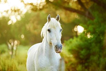Camargue horse standing on a field, Camargue, France, Europe