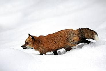 American red fox, (Vulpes fulva), adult, in winter, in snow, foraging, Montana, North America, USA, North America