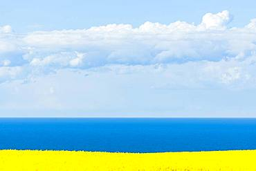 Blooming Rape field (Brassica napus), Baltic Sea, blue sky with clouds, Ruegen, Mecklenburg-Western Pomerania, Germany, Europe