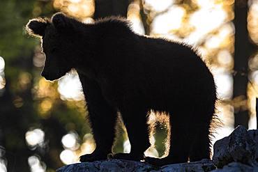 European brown bear (Ursus arctos arctos) in the forest, silhouette against the light, in the wild, Notranjska region, Dinaric Alps, Slovenia, Europe