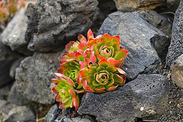Thick leafed plant (Aeonium) with red leaves between stones in a lava field, La Palma, Canary Islands, Canary Islands, Spain, Europe