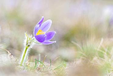 Pasque flower (Pulsatilla vulgaris) in a meadow, Lower Austria, Austria, Europe