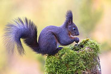 Eurasian red squirrel (Sciurus vulgaris), dark phase, sitting on a mossy tree stump, Tyrol, Austria, Europe
