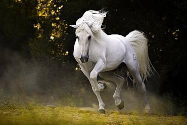 Spanish grey stallion in movement, stallion, Andalusia, Spain, Europe