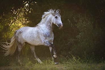 P.R.E. Stallion grey stallion galloping across the meadow; Andalusia, Spain, Europe