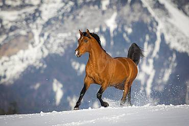 Thoroughbred Arabian stallion galloping over snow in winter, Tyrol, Austria, Europe
