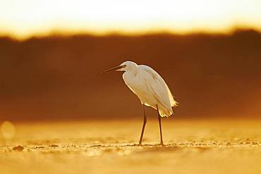 Little egret (Egretta garzetta), Saintes-Maries-de-la-Mer, Parc Naturel Regional de Camargue, France, Europe