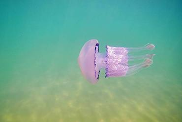 Dustbin-lid jellyfish (Rhizostoma pulmo) in shallow water, Catalonia, Spain, Europe