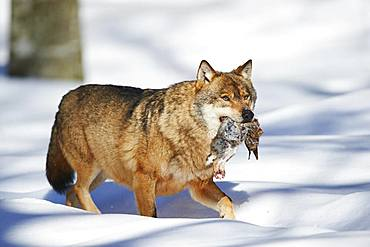 Eurasian wolf (Canis lupus lupus) with prey in winter, Bavarian Forest National Park, Bavaria, Germany, Europe
