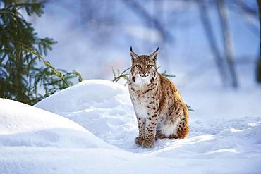 Eurasian lynx (Lynx lynx) sitting in snow, Bavarian Forest National Park, Bavaria, Germany, Europe