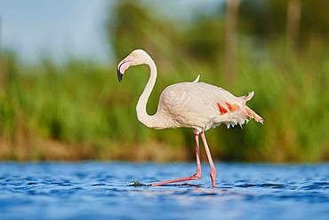 Greater Flamingos (Phoenicopterus roseus), strides in water, Parc Naturel Regional de Camargue, France, Europe