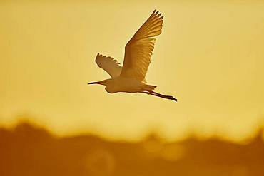 Little egret (Egretta garzetta), flying at sunset, Parc Naturel Regional de Camargue, France, Europe