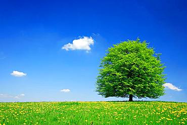 Solitary linden tree (Tilia) on green meadow, dandelion in bloom, blue sky with clouds, Hainich National Park, Thuringia, Germany, Europe