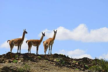 Three Guanacos (Llama guanicoe) keep watch, Ischigualasto Nature Reserve, San Juan Province, Argentina, South America