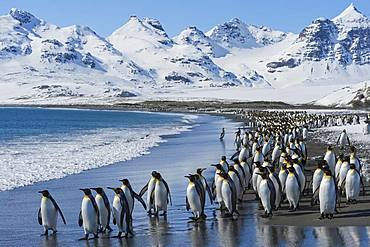 King Penguins (Aptenodytes patagonicus) at the beach, Salisbury Plain, South Georgia Island, Antarctic