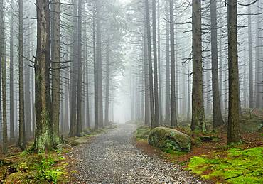 Path through misty spruce forest, Harz National Park, near Schierke, Saxony-Anhalt, Germany, Europe