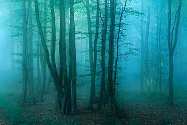 Mysterious dark forest with fog at dawn, near Freyburg, Burgenlandkreis, Saxony-Anhalt, Germany, Europe
