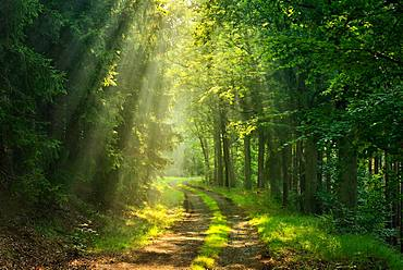 Hiking trail winds through light-flooded forest, sun shines through morning mist, Thuringian Slate Mountains, near Bad Lobenstein, Thuringia, Germany, Europe