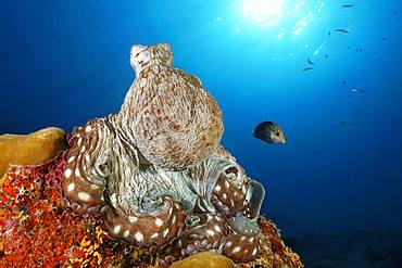 Common Octopus (Octopus vulgaris), sitting on hard coral, back light, sun, Indian Ocean, Maldives, Asia
