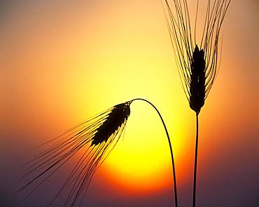 Ears of Barley (Hordeum vulgare) in front of setting sun, Baden-Wuerttemberg, Germany, Europe