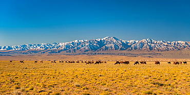 Herd of camels, Bactrian camels (Camelus bactrianus) in the steppe in front of snowy mountain range, Bayankhongor Province, Mongolia, Asia