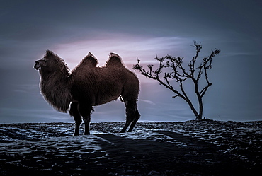 Bactrian camel (Camelus bactrianus), silhouette, winter night in the Gobi desert, Bulgan-Aimag, Mongolia, Asia