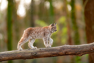 Lynx (Lynx lynx), young animal balanced over tree trunk, captive, Germany, Europe