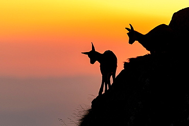 Two Chamoises (Rupicapra rupicapra) on a mountain slope against the light, sunset, Vosges, France, Europe