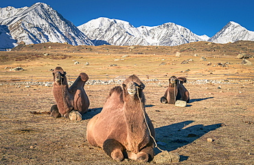 Camels lying on the ground, Bactrian camels (Camelus bactrianus), in the rear Mongolian Altai mountains, BayanUlgii province, Mongolia, Asia
