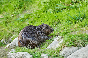 European beaver (Castor fiber) wildlife at the shore of Donau River, Regensburg, Upper Palatinate, Bavaria, Germany, Europe
