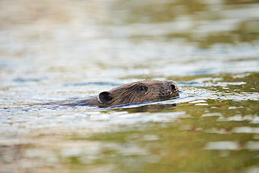 European beaver (Castor fiber) wildlife in Donau River, Regensburg, Upper Palatinate, Bavaria, Germany, Europe