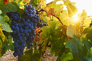 Ripe red grapes in a vineyard by sunset, Catalonia, Spain, Europe