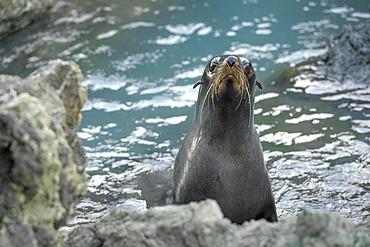New Zealand fur seal (Arctocephalus forsteri) on rocky coast, Cape Palliser, Wellington region, North Island, New Zealand, Oceania