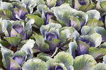 Red cabbage (Brassica oleracea var capitata f rubra), Field, Baden-Wuerttemberg, Germany, Europe