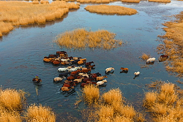 Herd of horses running through the water, Char Us Lake, Chowd-Aimag, Mongolia, Asia