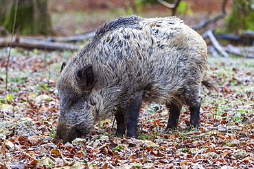 Wild boar (Sus scrofa) foraging between autumn leaves, Baden-Wuerttemberg, Germany, Europe