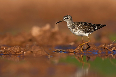 Wood sandpiper (Tringa glareola) in shallow water, Rhineland-Palatinate,Germany, Europe