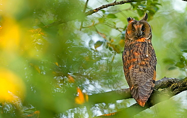 Long-eared owl (aiso otus) sitting attentively in the deciduous tree, Bavaria, Germany, Europe